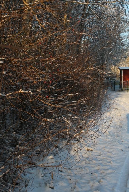 snow_nypon
